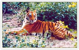 Watch live tiger and get spine chilling thriller experience, Jim Corbett National Park (Corbett Tiger Reserve) Uttarakhand India, Book online your visit to Jim Corbett National Park in Uttarakhand, India JimCorbettNationalParkOnline.com